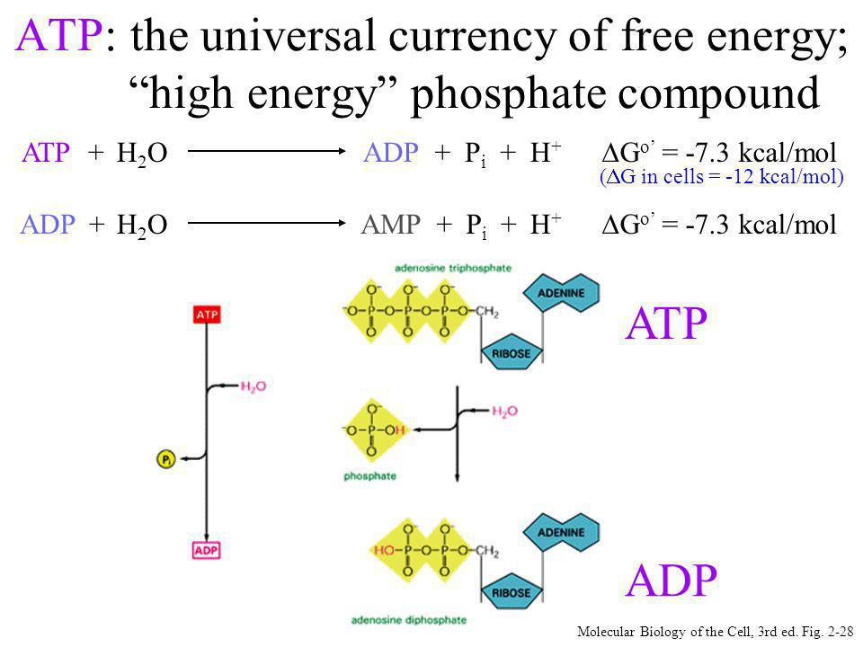 ATP: the universal currency of free energy;