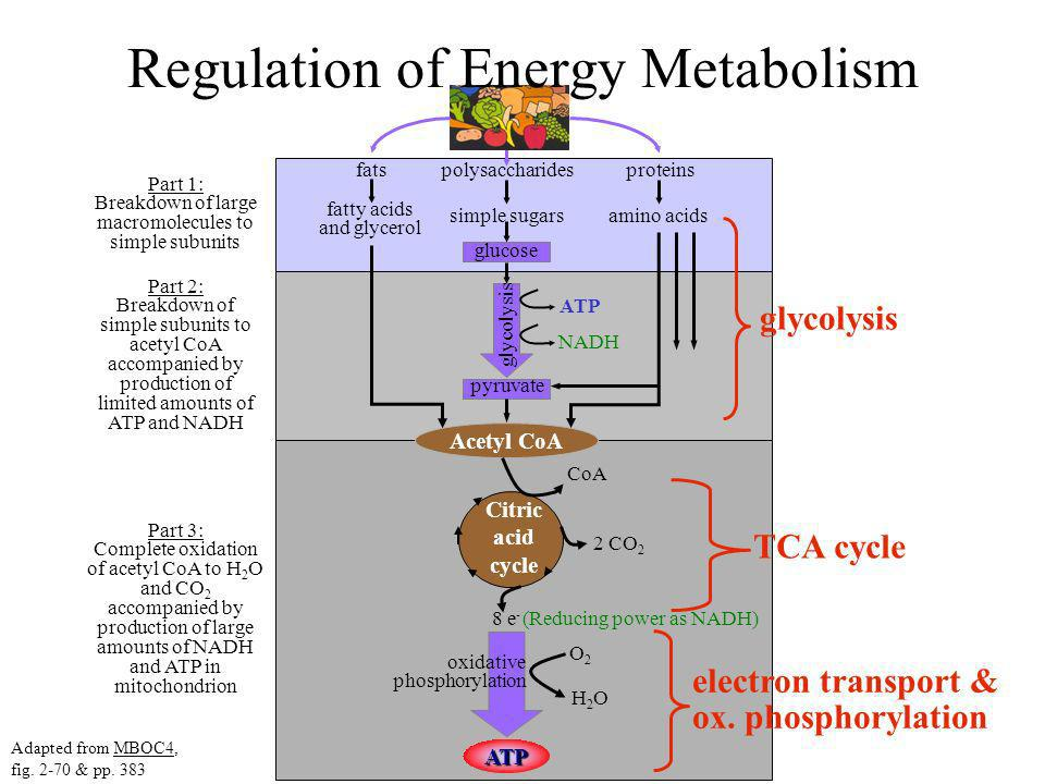 Regulation of Energy Metabolism