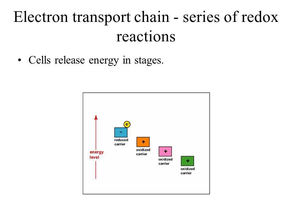 Electron transport chain - series of redox reactions