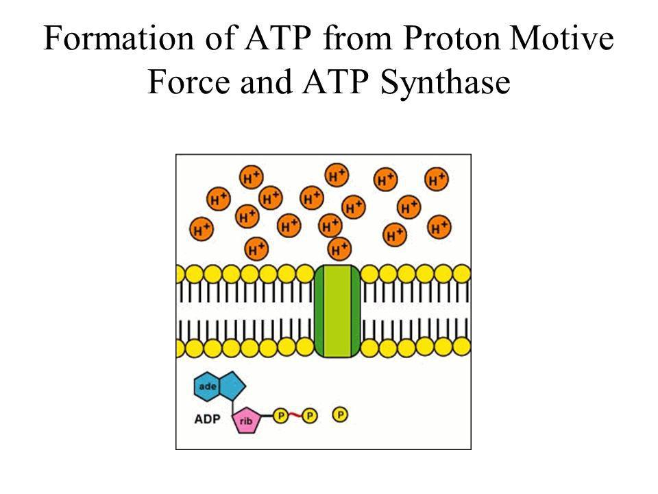 Formation of ATP from Proton Motive Force and ATP Synthase