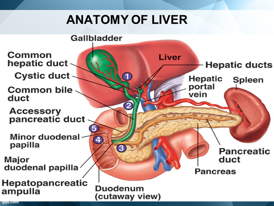 ANATOMY OF LIVER