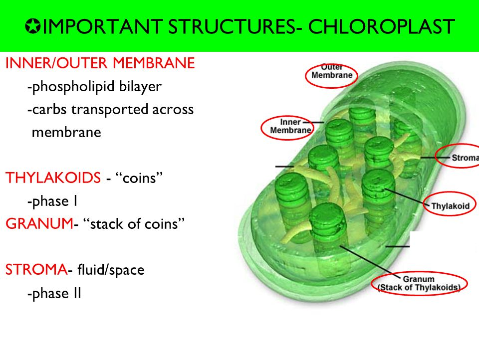 why are chloroplasts important