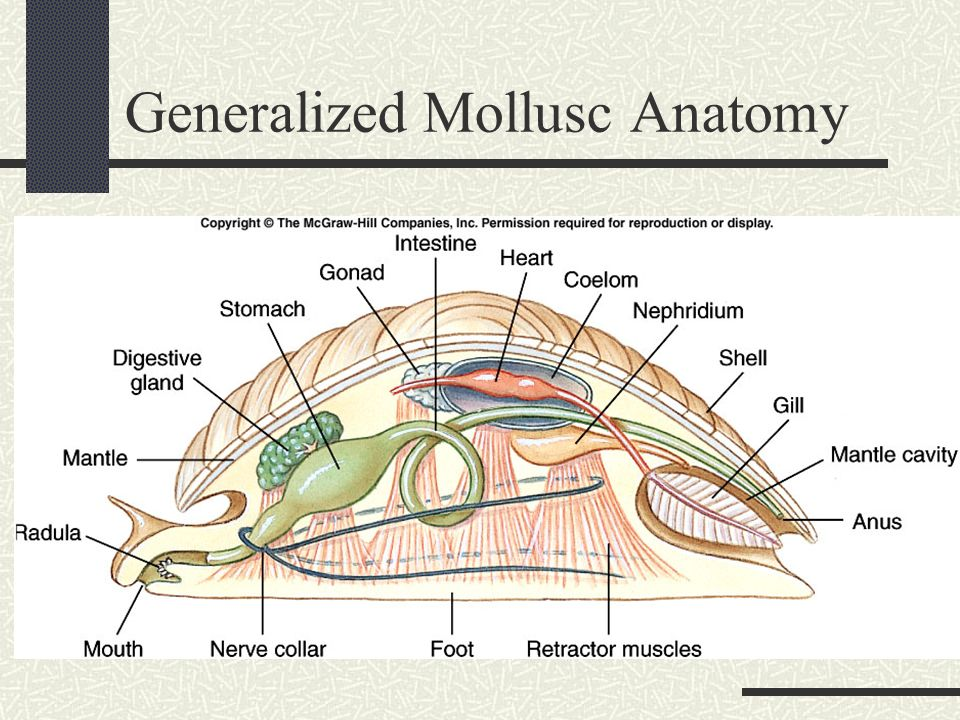 Generalized Mollusca Diagram - Information Of Wiring Diagram •