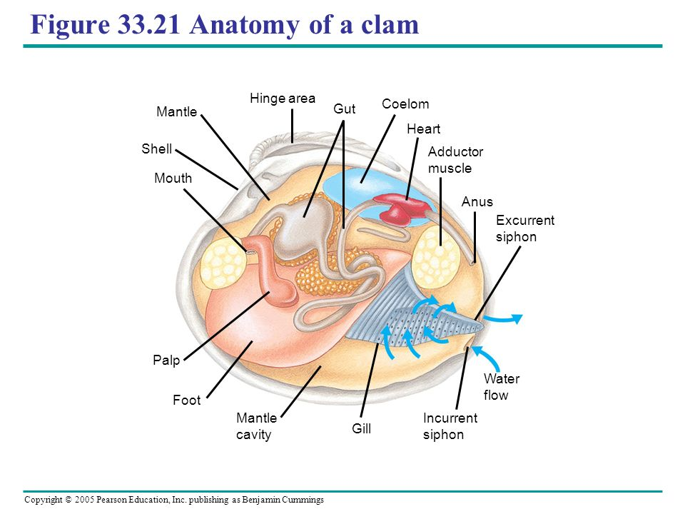 Contemporary Clam Anatomy And Functions Ensign - Human Anatomy ...