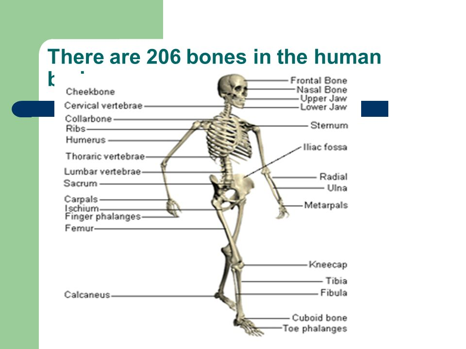 The Skeletal System Ppt Download
