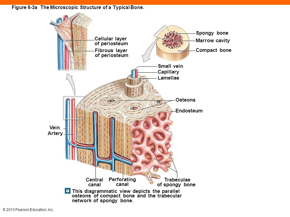 Structure Of A Typical Bone Diagram - Illustration Of Wiring Diagram •