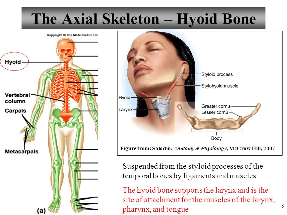 Chapter 7 The Axial And Appendicular Skeleton Lecture Ppt