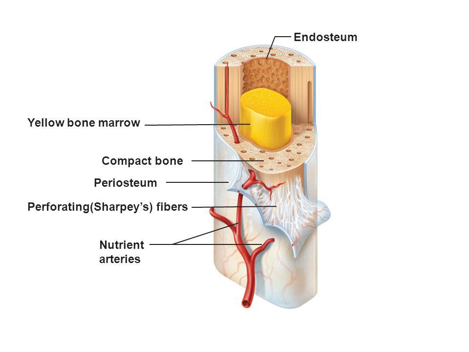 Articular Cartilage Compact Bone Proximal Epiphysis Spongy Bone
