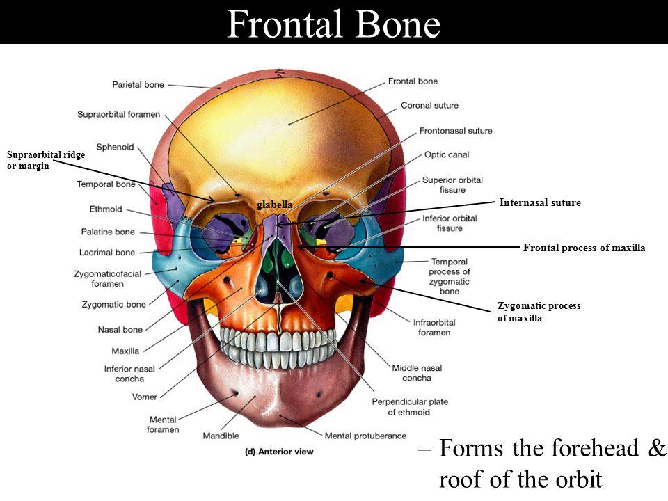 Anatomy of Skeletal Elements - ppt video online download