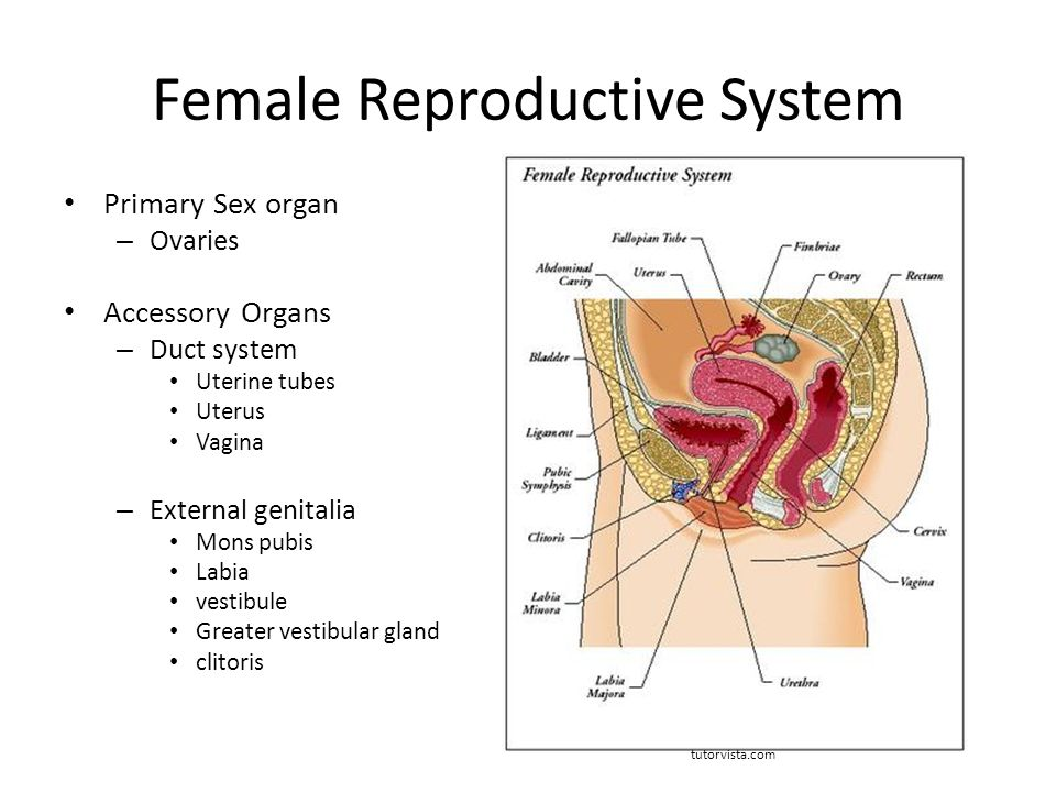 Reproductive Organs And Functions Reproductive System The Female Organs