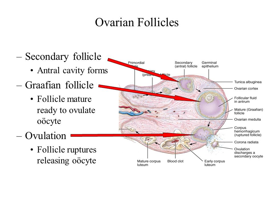 In the mature or graafian follicle of the ovary
