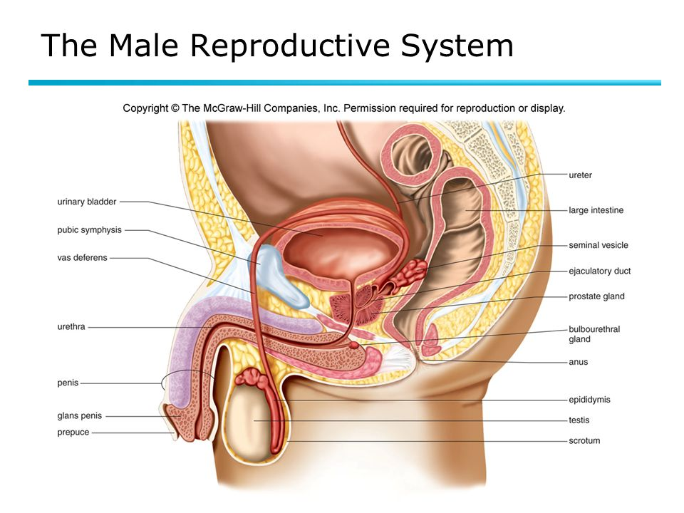 Fine Reproduction System Images - Human Anatomy Images ...