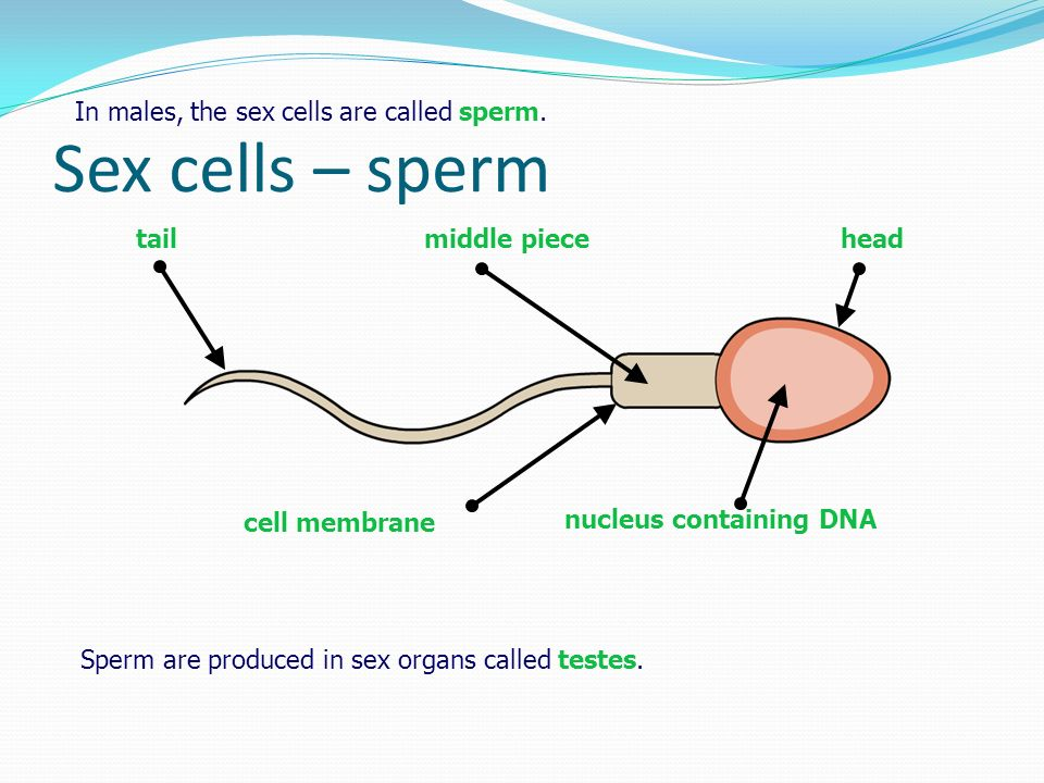 Human reproduction ppt video online download 5 nucleus containing dna sex cells sperm ccuart Choice Image