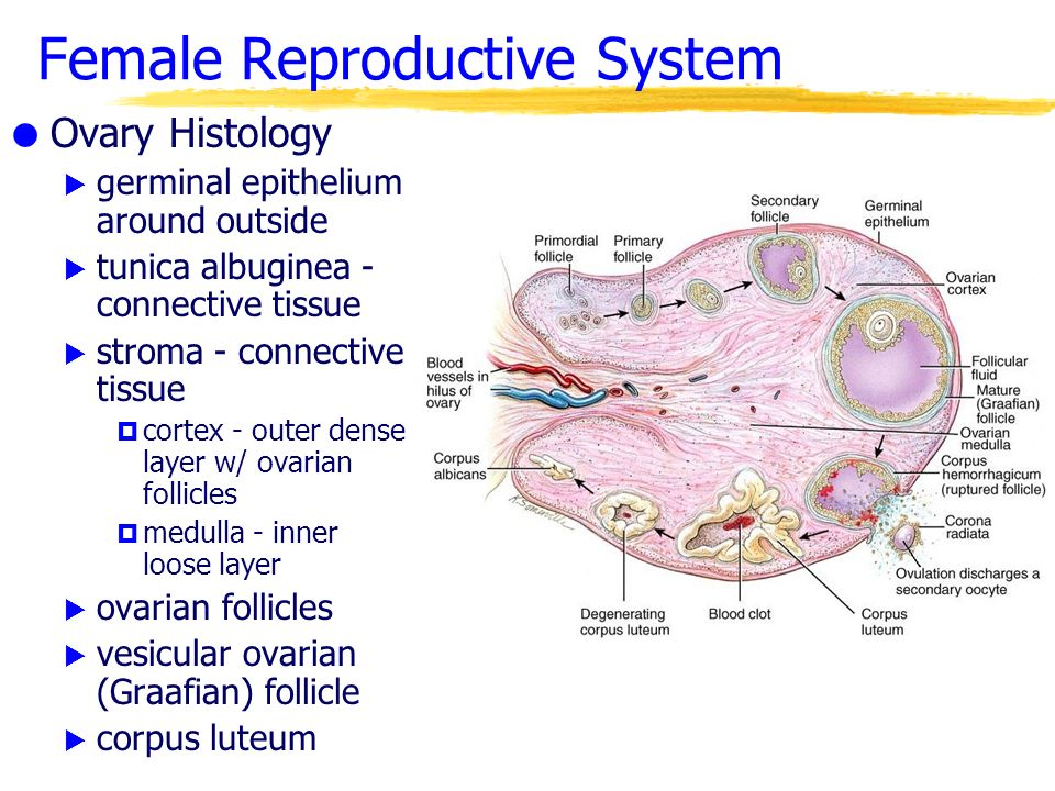 Morphology and physiology of the ovary