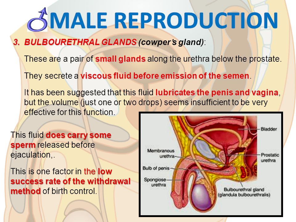 Reproductive System Ppt Download