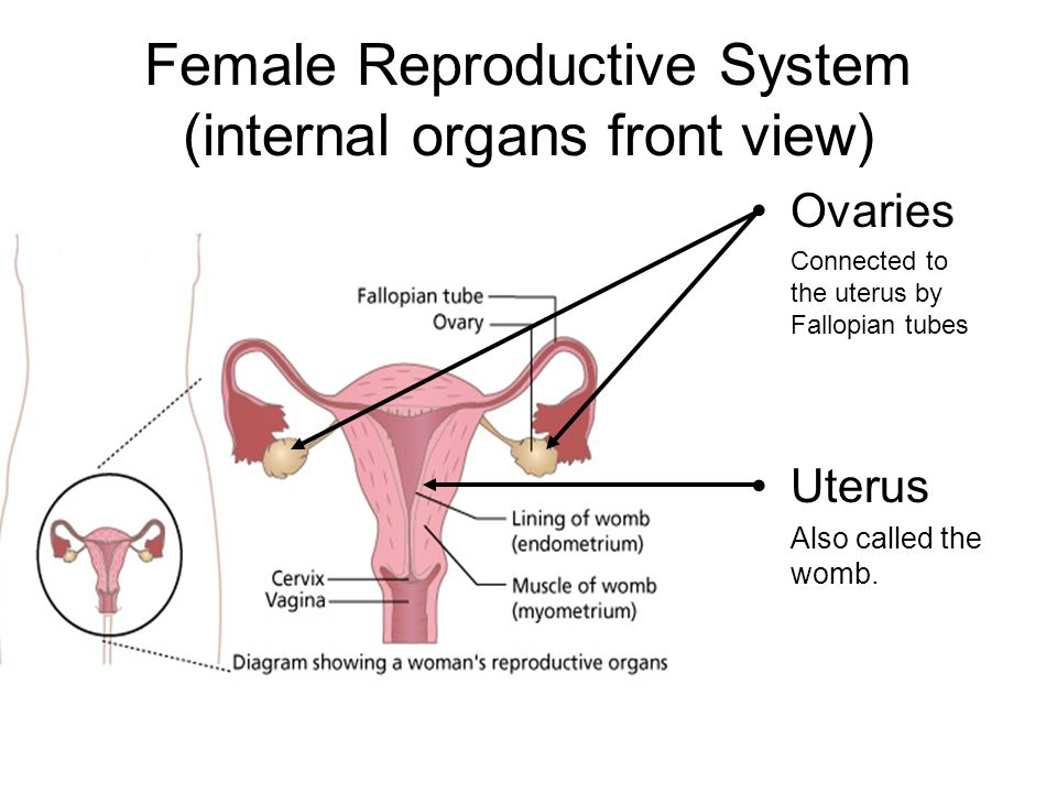 Chapter 5 the human organism and the perpetuation of life ppt 68 female reproductive system internal organs front view ccuart Gallery
