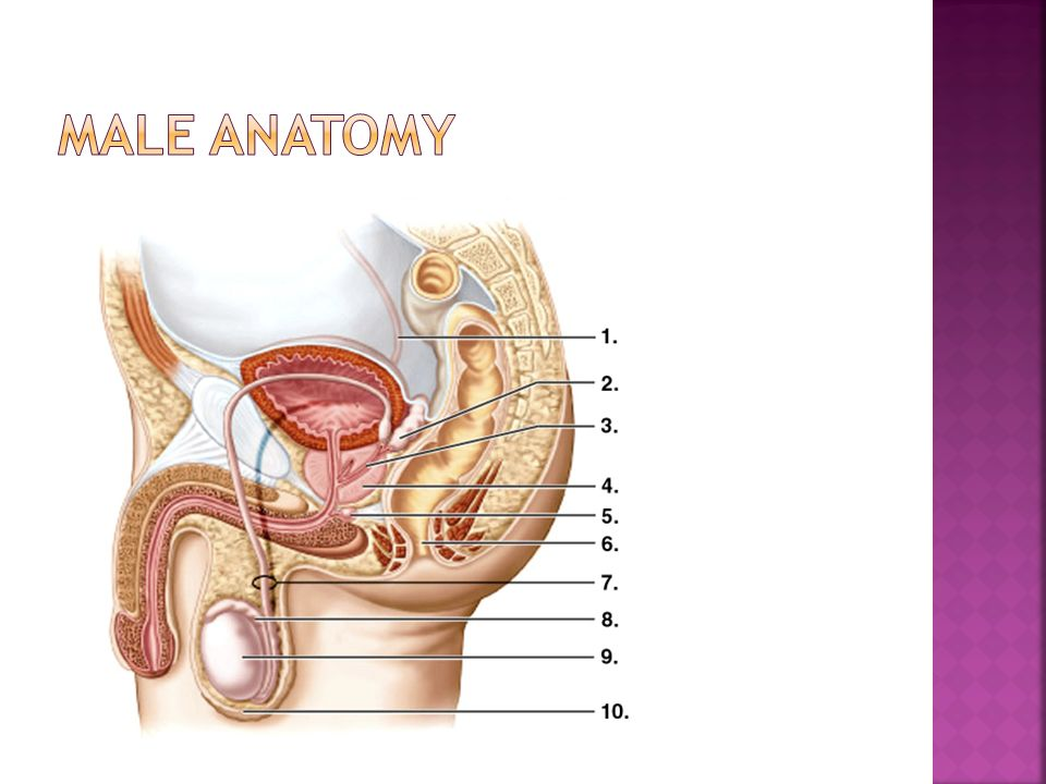 Male Female Sexual Anatomy Ppt Video Online Download