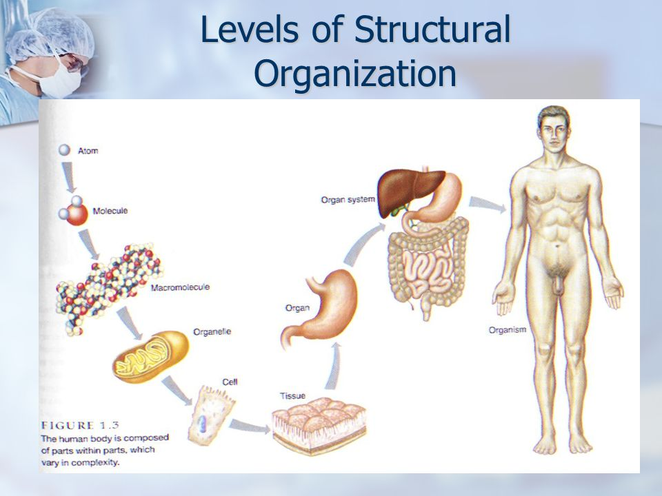 Diagram Of Levels Of Structural Organization Diy Enthusiasts