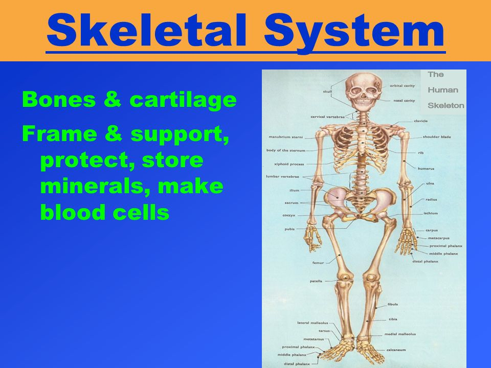 Skeletal System Bones & cartilage