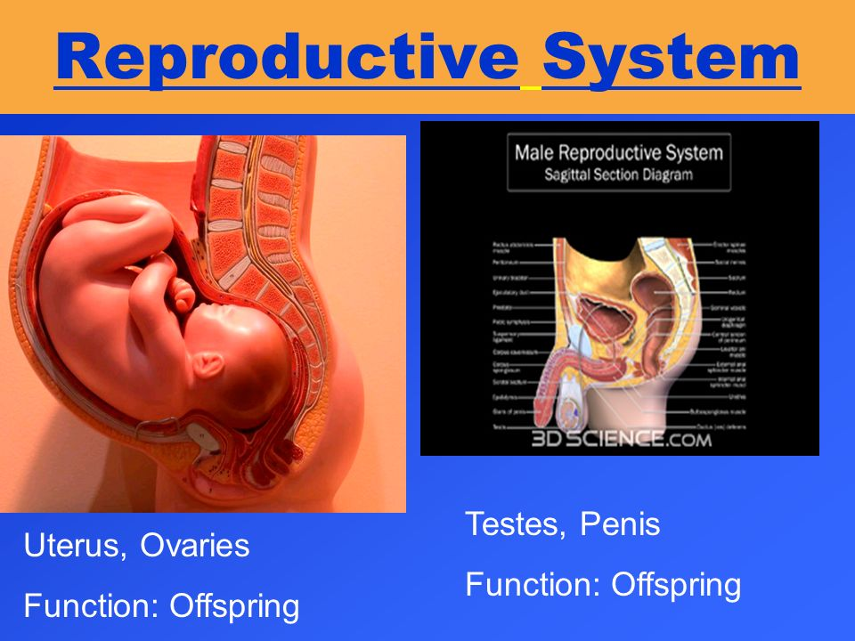 Reproductive System Testes, Penis Uterus, Ovaries Function: Offspring