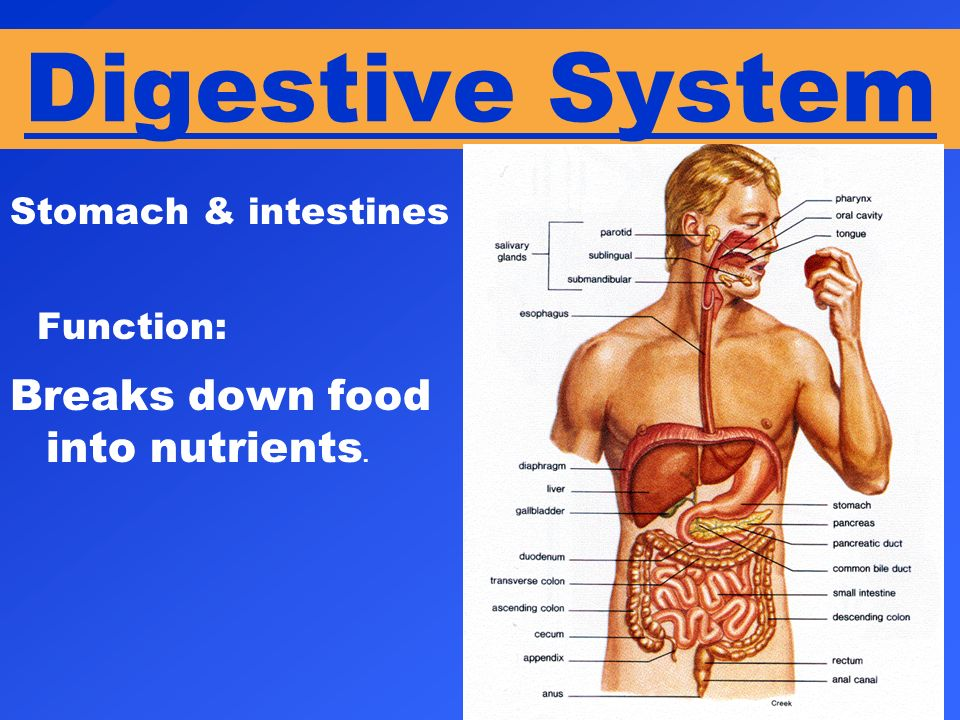 Digestive System Function: Breaks down food into nutrients.