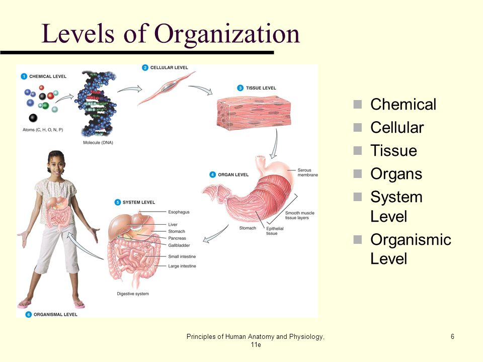 An Introduction To The Human Body Lecture Outline Ppt Download