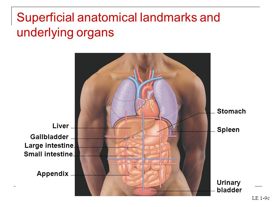 Chapter 1 an introduction to the human body ppt download superficial anatomical landmarks and underlying organs ccuart Images