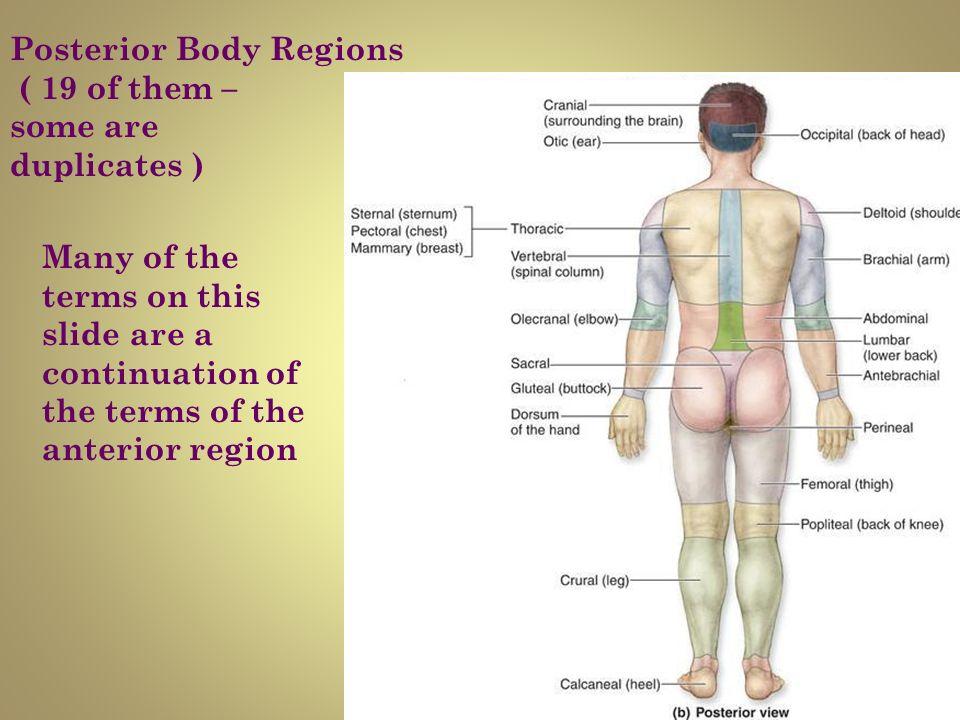 Outstanding Human Anatomy Body Regions Ideas - Anatomy And ...