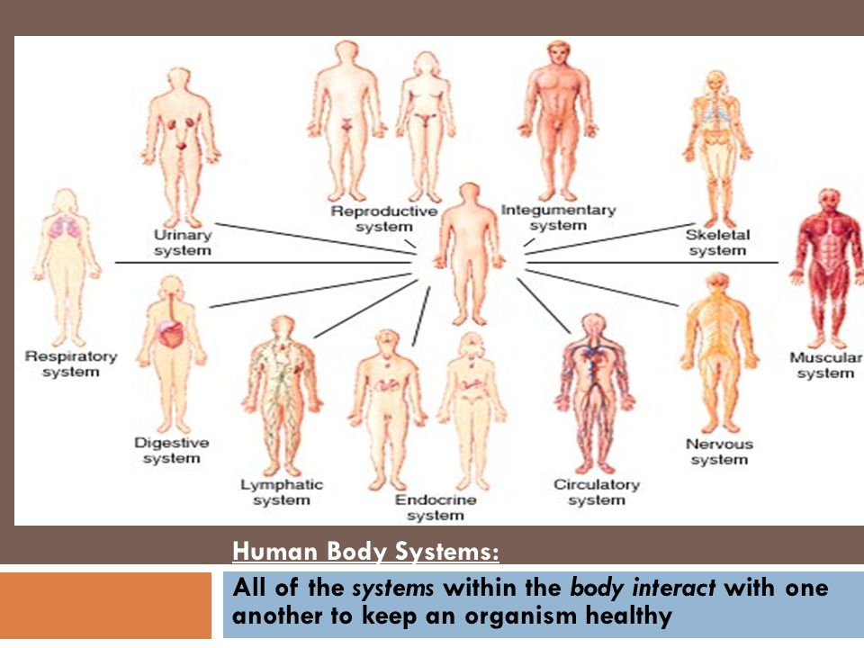 Human Body Systems: All of the systems within the body interact with ...