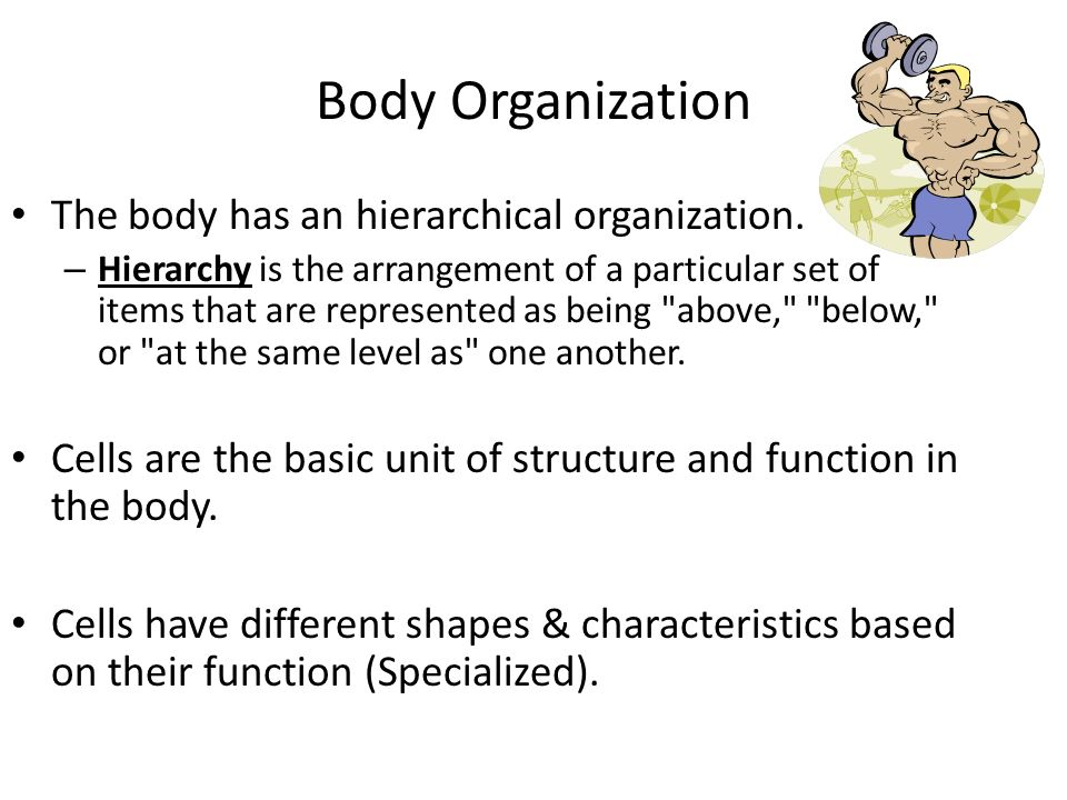 Body Organization The body has an hierarchical organization.