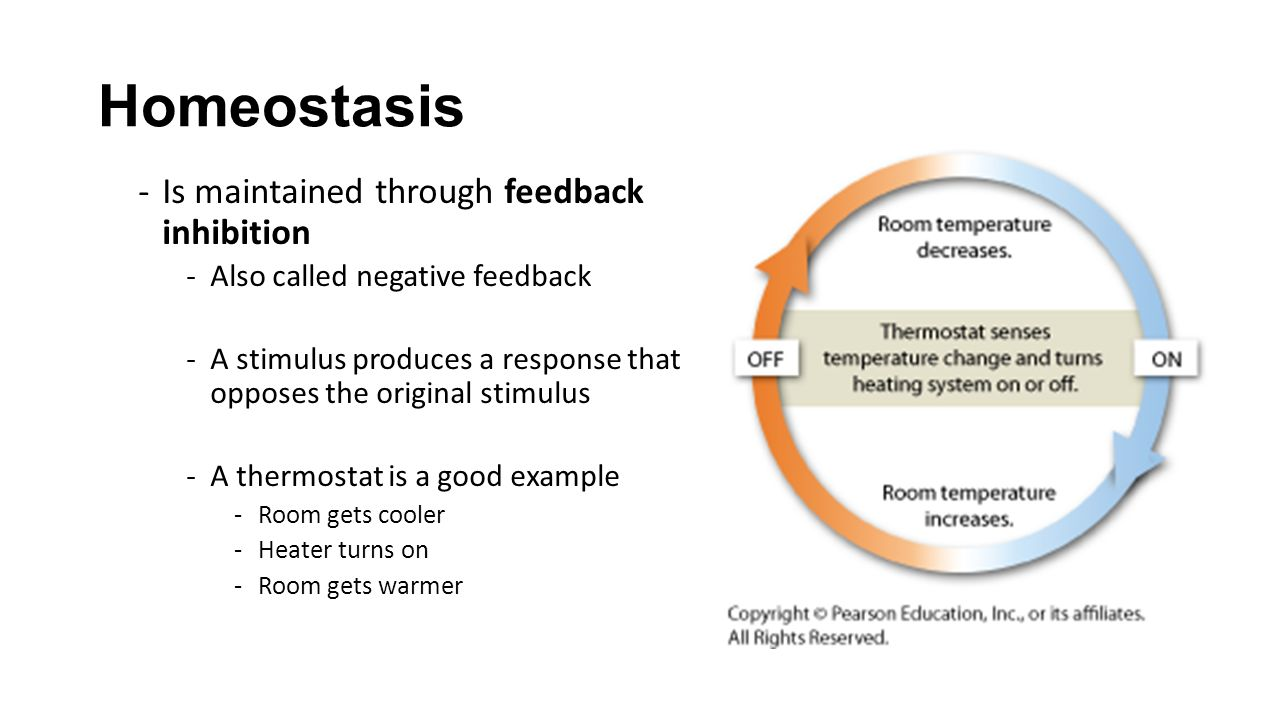Homeostasis Is maintained through feedback inhibition