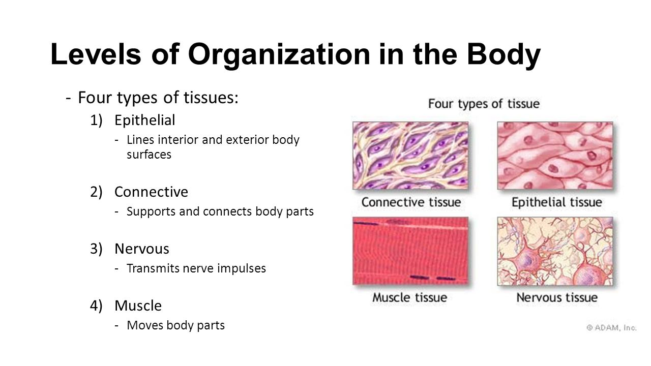 Levels of Organization in the Body