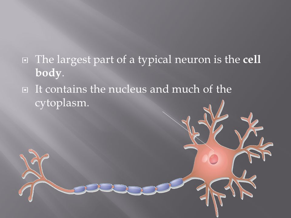 The largest part of a typical neuron is the cell body.