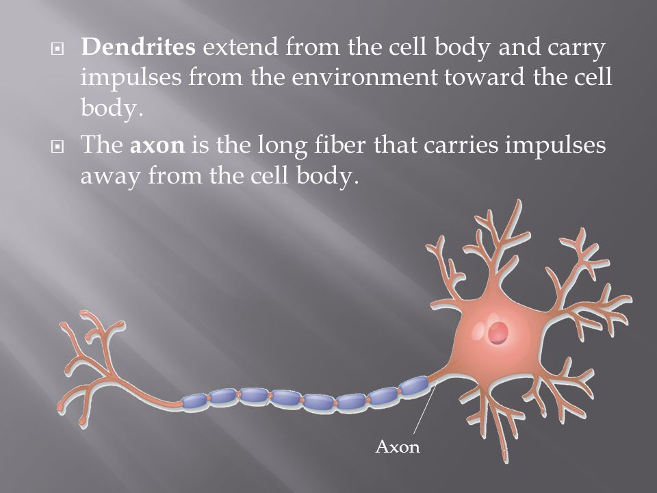 Dendrites extend from the cell body and carry impulses from the environment toward the cell body.