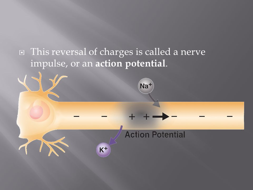 This reversal of charges is called a nerve impulse, or an action potential.
