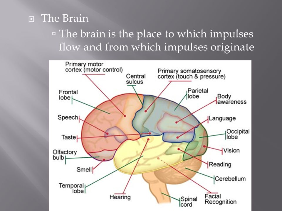 The Brain The brain is the place to which impulses flow and from which impulses originate