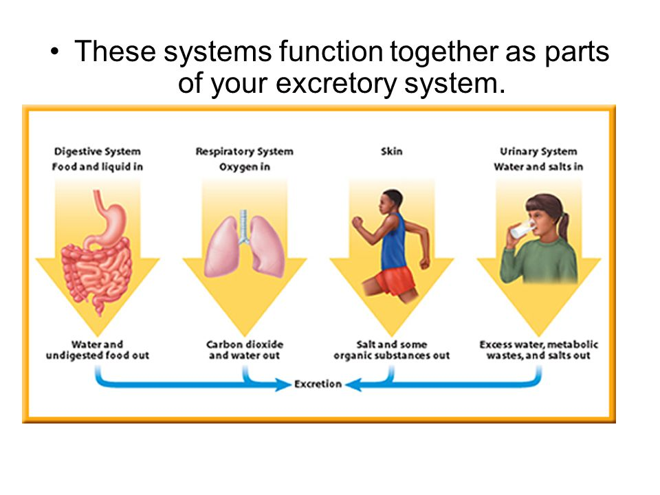 Summary -> Excretory System Of Human Body Tes Resources