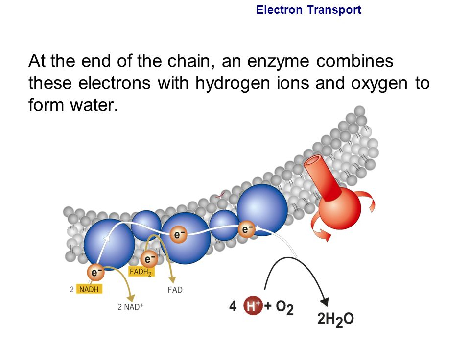 electron bracelet 9 2 the krebs cycle and electron transport ppt 5766