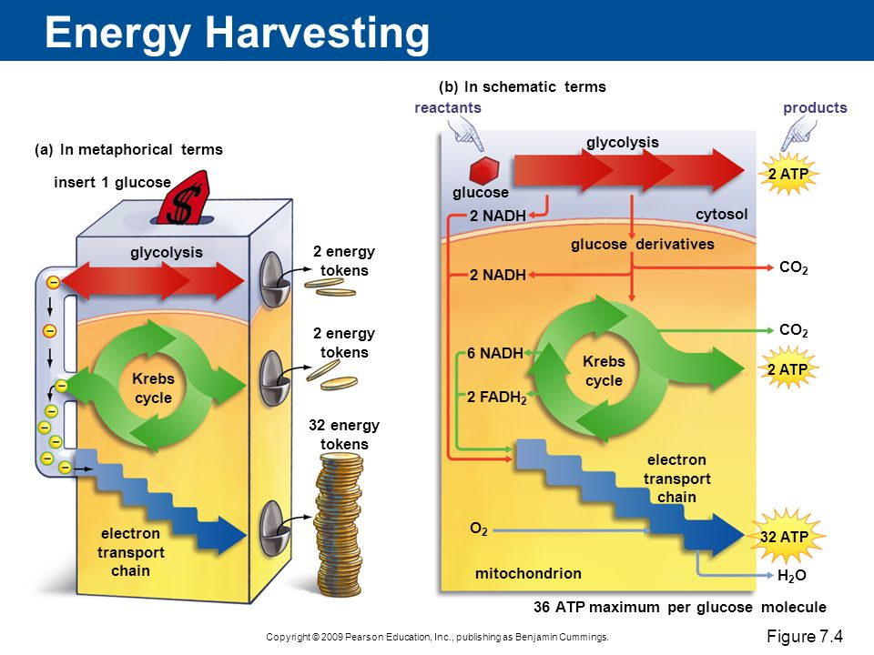 Vital harvest deriving energy from food ppt video online download energy harvesting figure 74 b in schematic terms reactants products ccuart Image collections
