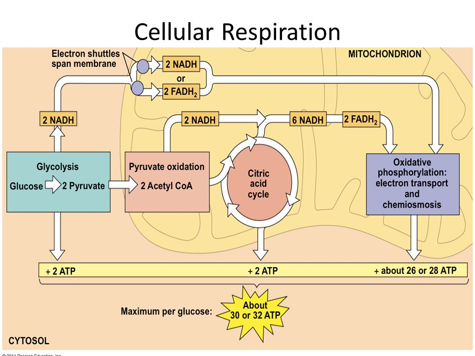 Diagram of cell respiration basic guide wiring diagram cellular respiration ppt video online download rh slideplayer com diagram of cellular respiration in plants photosynthesis ccuart Image collections