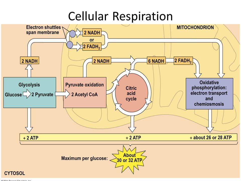 Cellular Respiration Ppt Video Online Download
