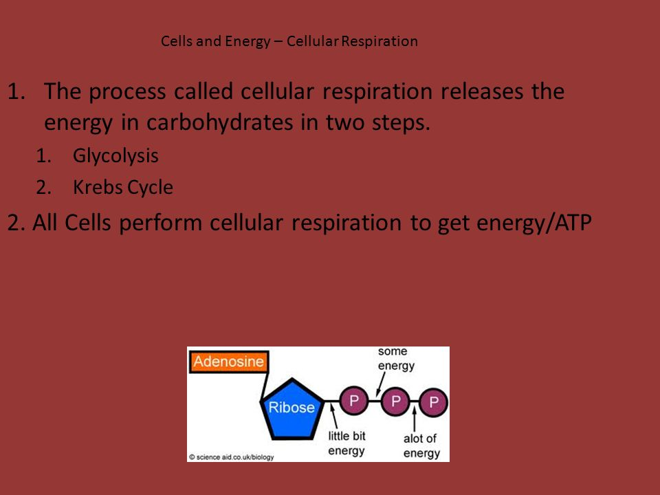 2. All Cells perform cellular respiration to get energy/ATP