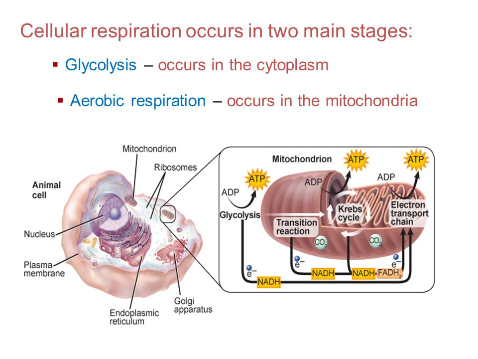 Cellular respiration occurs in two main stages: