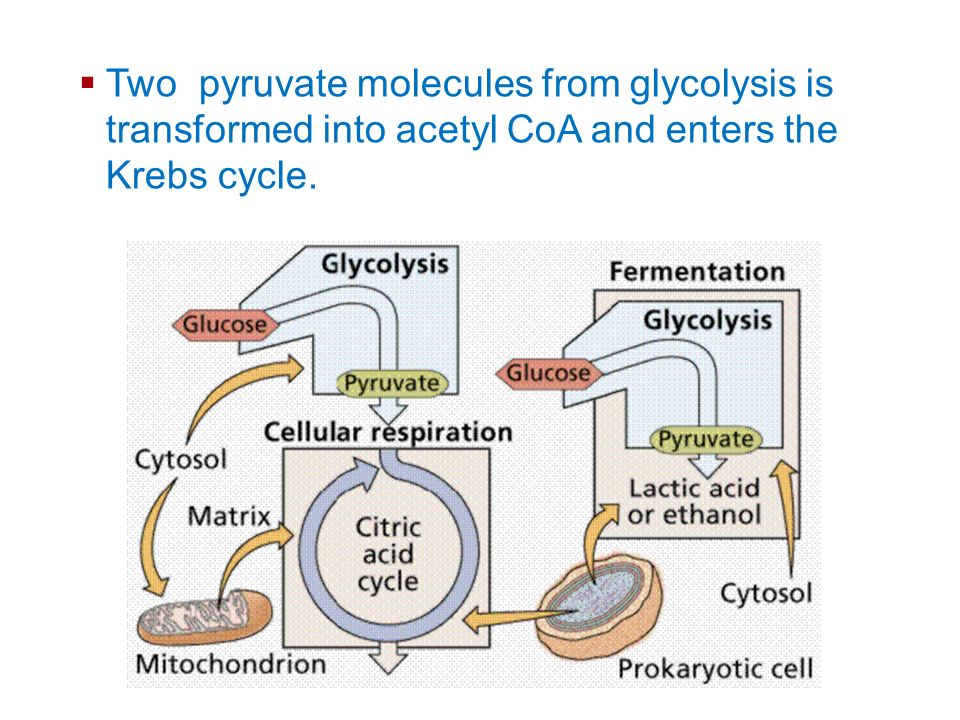 Cellular Energy Two pyruvate molecules from glycolysis is transformed into acetyl CoA and enters the Krebs cycle.
