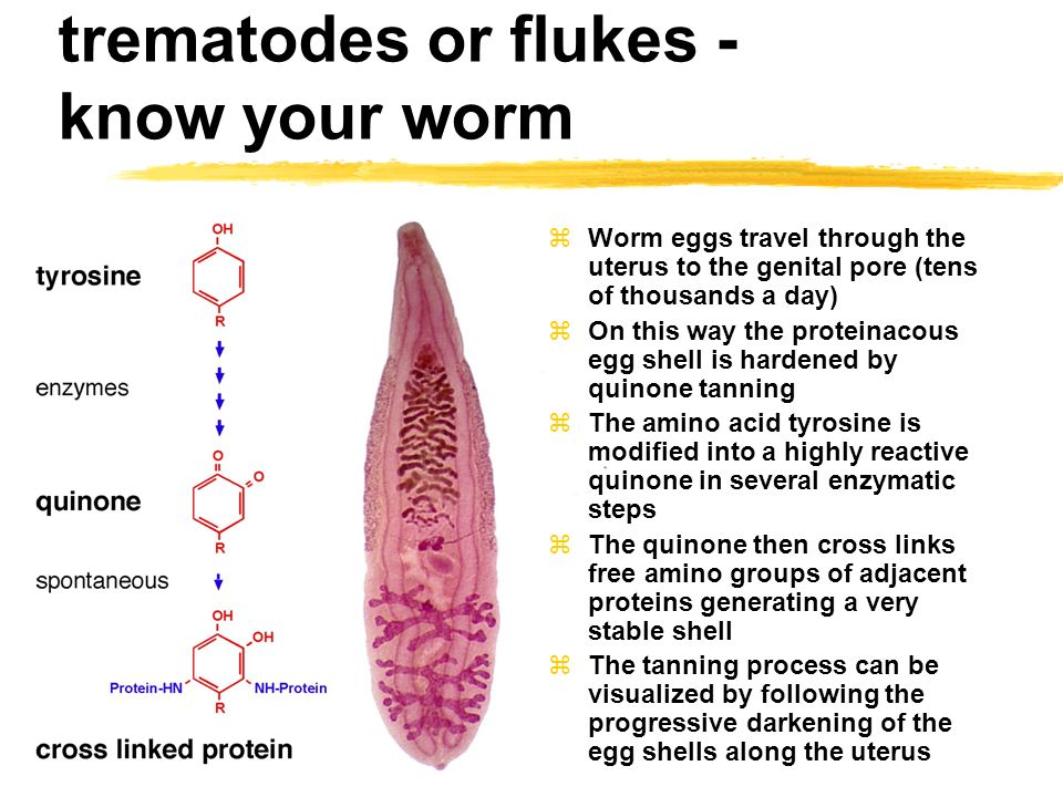 Trematode - Wikiwand - Worms trematode