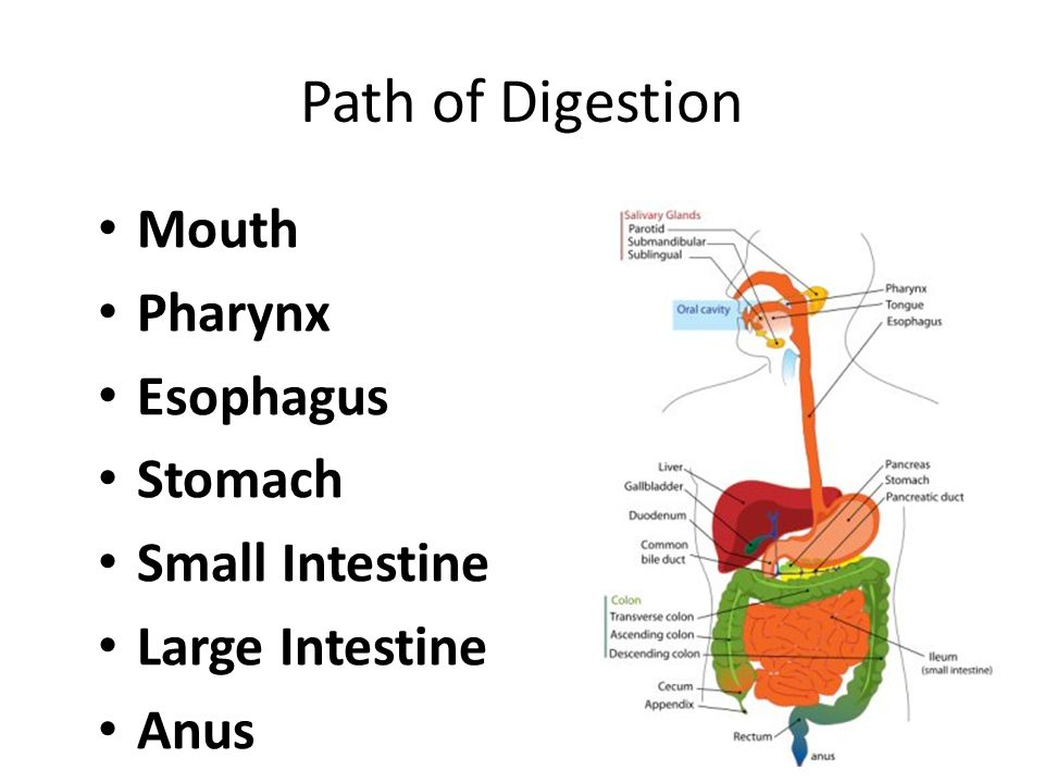 Image result for path of digestion