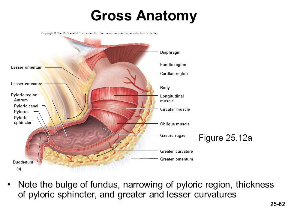 Gross Anatomy Of Digestive System Gallery - human body anatomy