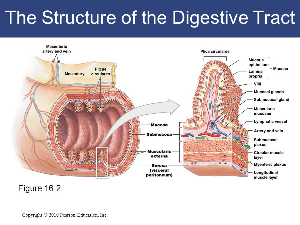 Gi Tract Diagram Wall Structure Block And Schematic Diagrams