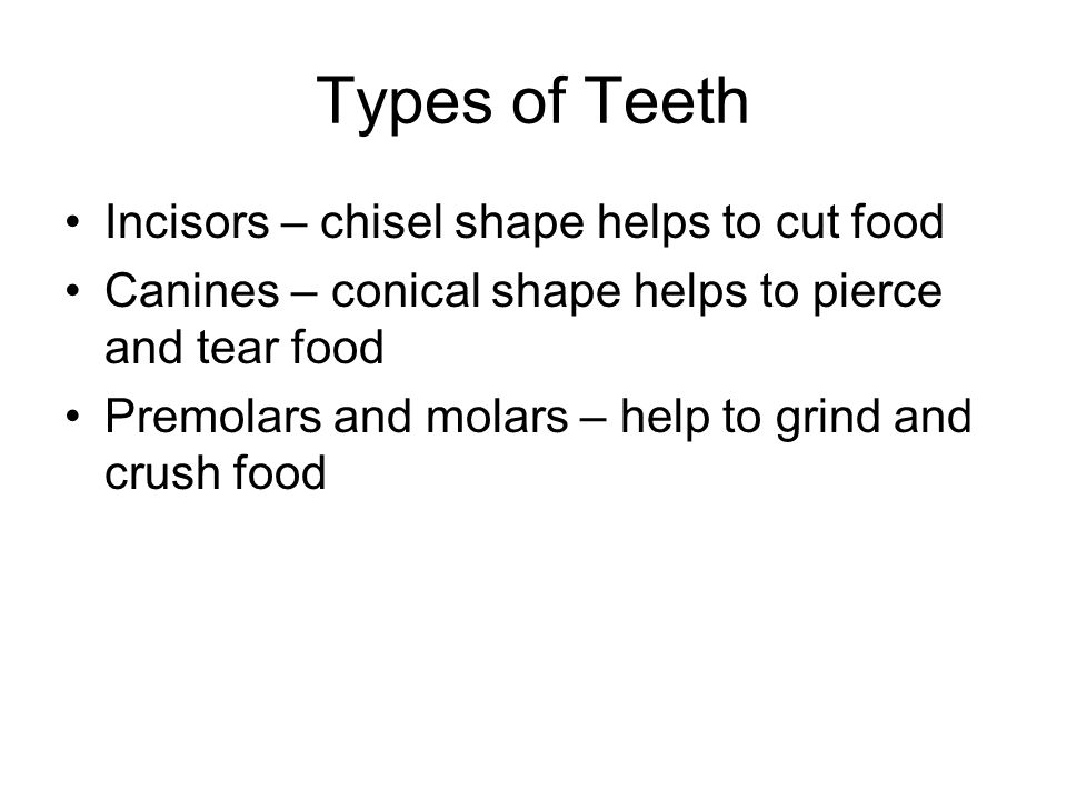 Types of Teeth Incisors – chisel shape helps to cut food