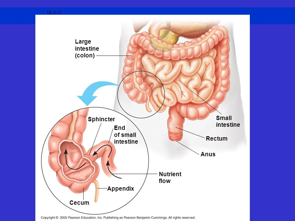 Large intestine (colon) Sphincter Small intestine End of small